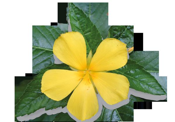 Dr. Böhm® Damiana - natürliches Aphrodisiakum aus der Damiana-Pflanze